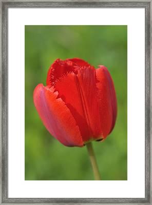 Red Tulip Green Background Framed Print
