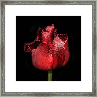 Red Tulip Framed Print by Martin Crush