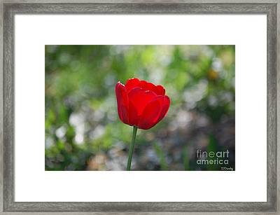Only But A Single Tulip Framed Print