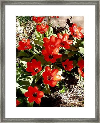 Framed Print featuring the photograph Red Tulips by David Pantuso