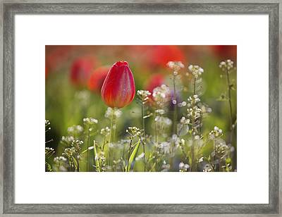 Red Tulips Growing With Sprigs Of Small White Flowers At Wooden Shoe Tulip Farm Framed Print by Design Pics / Craig Tuttle