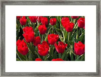 Red Tulips Framed Print by Hans Engbers