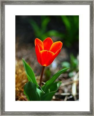 Red Tulips II Framed Print by Paul Ge