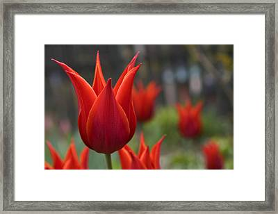Red Tulips Framed Print by Michael Friedman