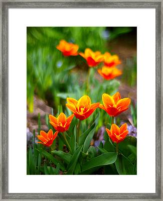 Red Tulips Framed Print by Paul Ge