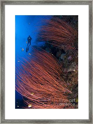 Red Whip Coral Sea Fan With Diver Framed Print