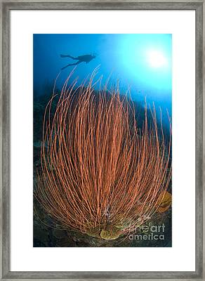 Red Whip Fan Coral With Diver, Papua Framed Print