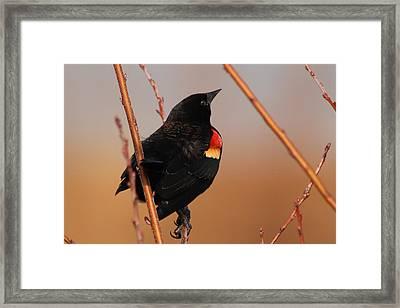 Red Wing Black Bird Framed Print by DK Hawk