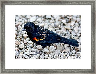Red Wing Blackbird Framed Print