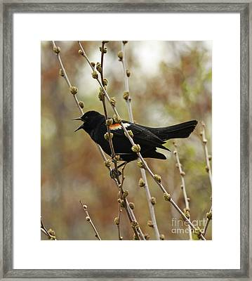 Red Winged Black Bird In Song Framed Print by Inspired Nature Photography Fine Art Photography