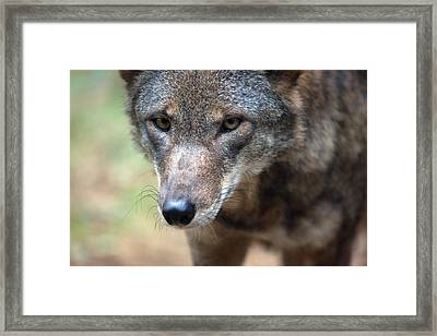 Red Wolf Closeup Framed Print by Karol Livote