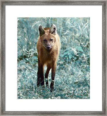 Framed Print featuring the photograph Red Wolf by Raymond Earley