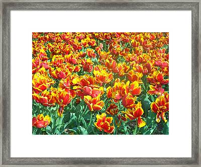 Red-yellow Tulips Framed Print
