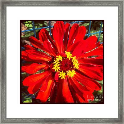 Red Zinnia Framed Print by Christine Segalas