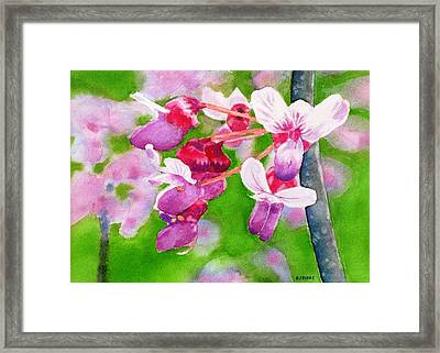 Redbud Framed Print by Debra Spinks