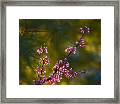 Redbud Framed Print by Rob Travis