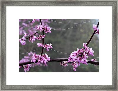 Redbud With Webs And Dew Framed Print