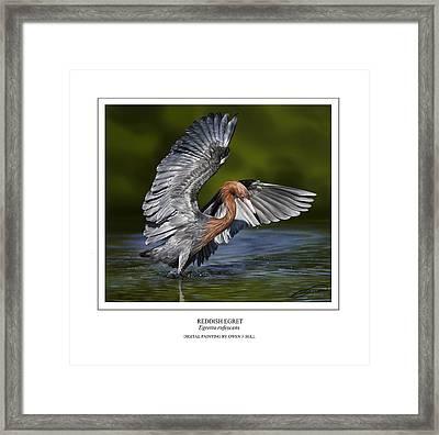 Reddish Egret 1 Framed Print