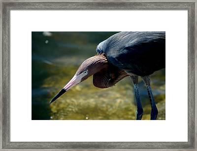 Reddish Egret 2 Framed Print