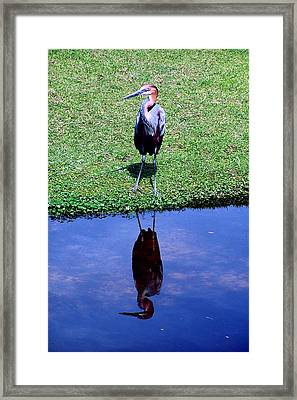 Reddish Egret  Framed Print by Michelle Harrington