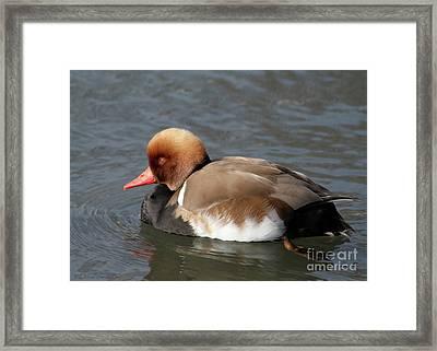 Redhead Framed Print by Debra Straub