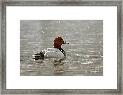 Redhead Duck In Winter Snow Storm Framed Print by Inspired Nature Photography Fine Art Photography
