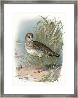 Redshank, Historical Artwork Framed Print by Sheila Terry