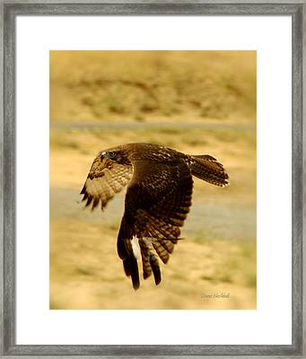 Redtail Flight Framed Print