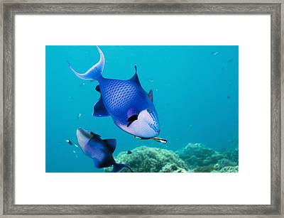 Redtoothed Triggerfish Framed Print by Georgette Douwma