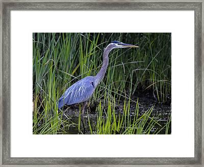Reed Walker Framed Print by Brian Stevens