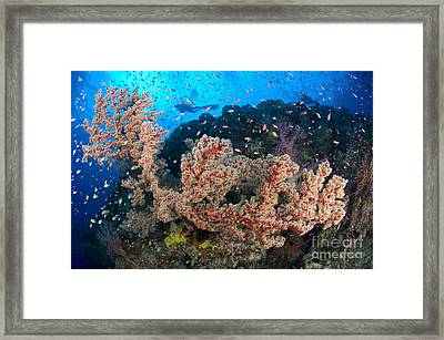 Reef Scene With Sea Fan, Papua New Framed Print by Steve Jones