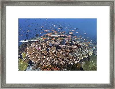 Reefscape With Schooling Anthias (basslet) Framed Print