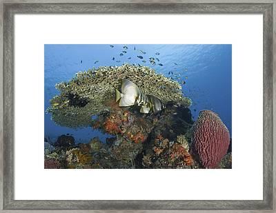 Reefscape With Spadefish And Barrel Sponge Framed Print by Jones/Shimlock-Secret Sea Visions