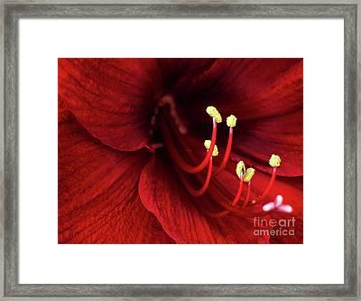 Ref Lily Framed Print by Carlos Caetano