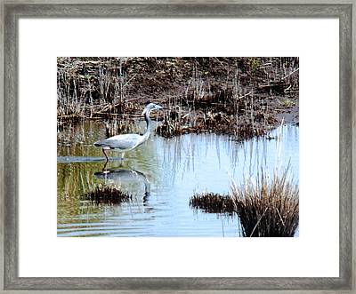 Reflections Of A Blue Heron Framed Print