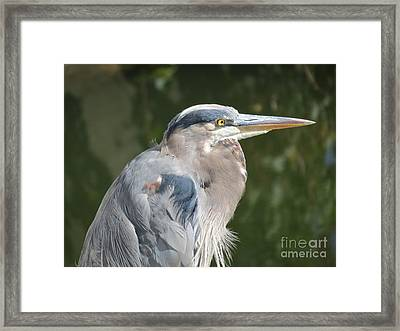 Regal Heron Framed Print
