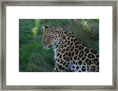 Relaxing Leopard Framed Print by Carol Wright