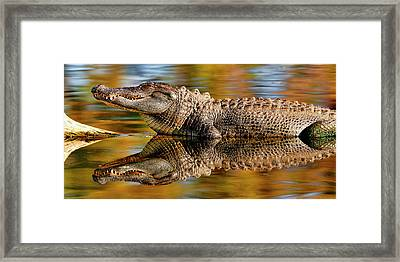 Relection Of An Alligator Framed Print