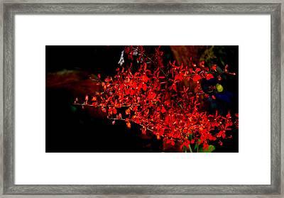 Renanthera Framed Print