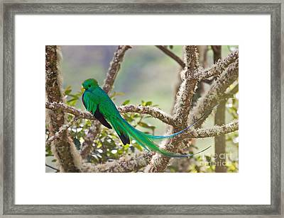 Resplendent Quetzal Framed Print