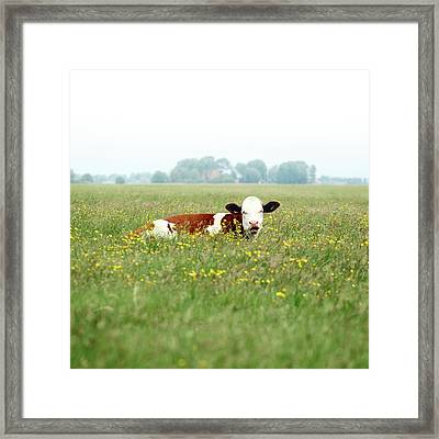 Resting Cow In  Field Framed Print by MarcelTB