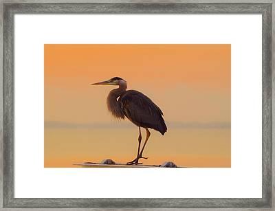 Resting Heron Framed Print by William Bartholomew