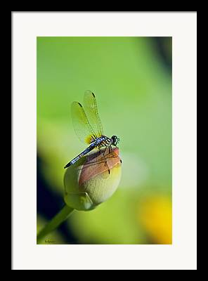 Dragon Fly On A Lily Framed Prints