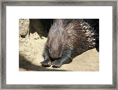 Resting Porcupine Framed Print by Mariola Bitner