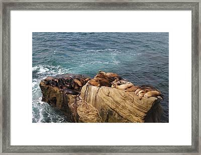 Resting Sealions Framed Print by Riccardo Vanorio