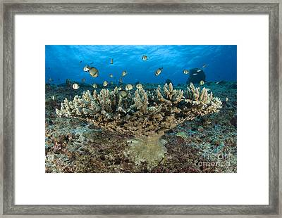 Reticulate Humbugs Gather Under Stone Framed Print