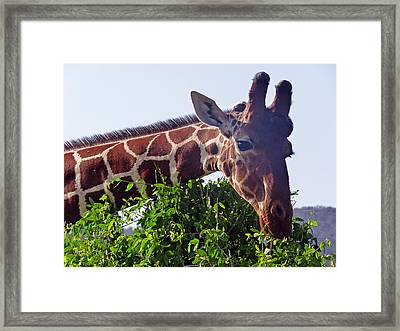 Reticulated Giraffe Framed Print by Tony Murtagh