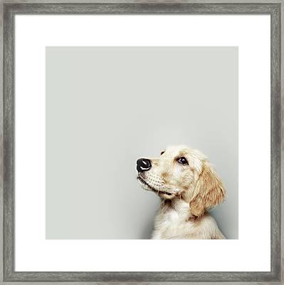 Retriever Pup Framed Print by J W L Photography