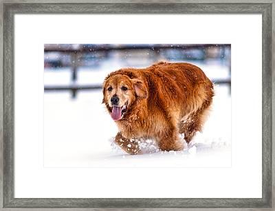 Retriever Running In Snow Framed Print by Matt Dobson