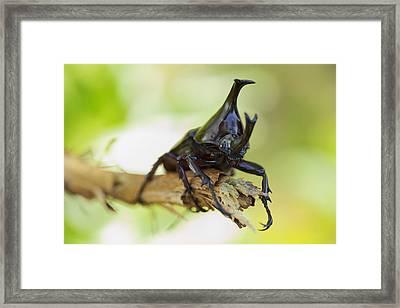 Rhinoceros Beetle  Framed Print by Anek Suwannaphoom